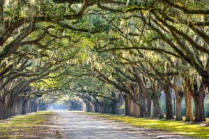 Oak Trees in Savannah