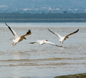 Soaring white pelicans in Lake Nakuru National Park - Kenya, Eastern Africa